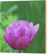Gorgeous Blooming And Flowering Dark Pink Parrot Tulip Wood Print