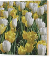 Gorgeous Blooming Field Of White And Yellow Tulips Wood Print