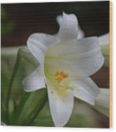 Gorgeous Blooming White Lily With Yellow Pollen On It's Stamen Wood Print