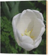 Gorgeous Blooming White Tulip Flower Blossom In Spring Wood Print