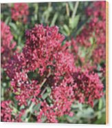 Gorgeous Cluster Of Red Phlox Flowers In A Garden Wood Print