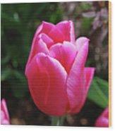 Gorgeous Dark Pink Tulip Blooming In A Garden Wood Print