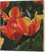 Gorgeous Flowering Orange And Red Blooming Tulips Wood Print