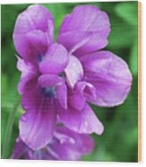 Gorgeous Flowering Purple Tulip Flower Blossoms In A Garden Wood Print