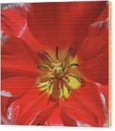 Gorgeous Flowering Red Tulip With A Yellow Center Wood Print