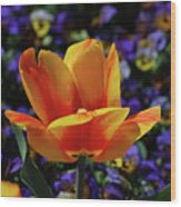 Gorgeous Flowering Yellow And Red Blooming Tulip Wood Print