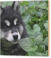 Gorgeous Fluffy Alusky Puppy Peaking Out Of Plants Wood Print