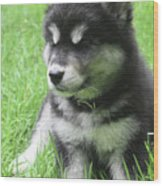Gorgeous Fluffy Black And White Husky Puppy In Grass Wood Print