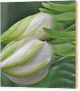 Best Buds Gorgeous Gardenia Flower Buds Wood Print