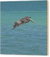 Gorgeous Grey Pelican With His Wings Extended In Flight  Wood Print