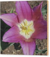 Gorgeous Light Purple Tulip With Yellow Stamen Wood Print