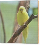 Gorgeous Little Yellow Parakeet Living In The Wild Wood Print