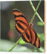 Gorgeous Orange And Black Oak Tiger Butterfly Wood Print