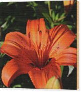 Gorgeous Pretty Orange Lily Flower Blooming In A Garden Wood Print