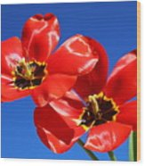 Gorgeous Red Tulips. Wood Print