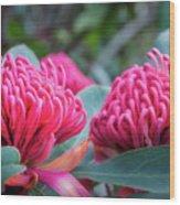 Gorgeous Waratah -floral Emblem Of New South Wales Wood Print