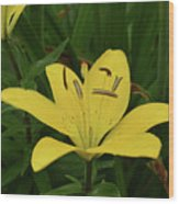 Gorgeous Yellow Lily Growing In Nature Up Close Wood Print