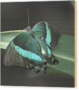 Gorgoeus Close Up Of This Emerald Swallowtail Butterfly  Wood Print