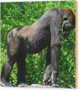 Gorilla Posing Wood Print
