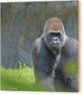 Gorilla Stare Wood Print