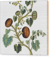 Gourd, 1735 Wood Print