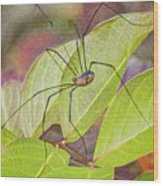 Grandaddy Long Legs Wood Print