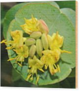 Grape Honeysuckle Wood Print
