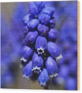 Grape Hyacinth - Muscari Wood Print
