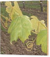 Grape Leaves At Fess Parker Wood Print