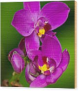 Grapette Ground Orchid Wood Print