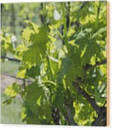 Grapevine In Early Spring Wood Print