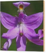 Grass Pink Orchid Wood Print