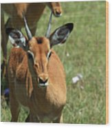 Grassland Deer Wood Print