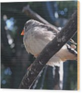 Gray Crowned Rosy Finch   Wood Print