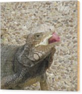 Gray Iguana Eating Lettuce With His Pink Tongue Sticking Out Wood Print