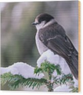 Gray Jay Wood Print