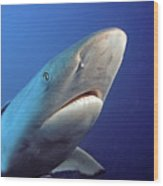 Gray Reef Shark Wood Print