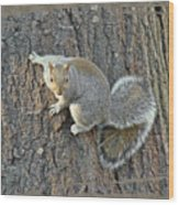 Gray Squirrel - Sciurus Carolinensis Wood Print