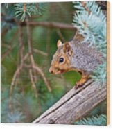 Gray Squirrel Pictures 93 Wood Print