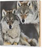 Gray Wolf Canis Lupus Pair In The Snow Wood Print