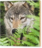Gray Wolf In The Woods Wood Print