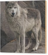 Gray Wolf On A Rock Wood Print