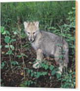 gray Wolf Pup in Woods Wood Print