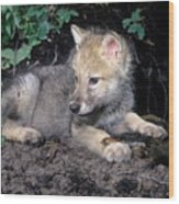 Gray Wolf Pup With Prey Wood Print