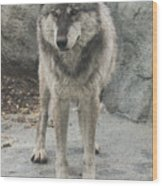 Gray Wolf Stare Wood Print