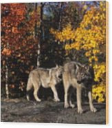 Gray Wolves In Autumn Wood Print