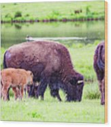 Grazing Bisons Wood Print