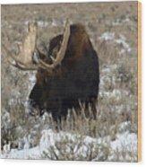 Grazing Bull Moose Wood Print