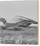 Great Blue Egret In Flight Wood Print