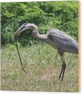Great Blue Heron Eating Snake  Wood Print